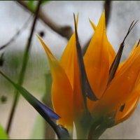 Стрилиция (райская птица) :: Светлана