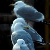 Чайки :: Ахмед Овезмухаммедов