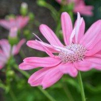 Розовый цветочек :: Андрей Майоров
