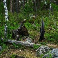 В прибайкальском лесу :: Ольга Чистякова