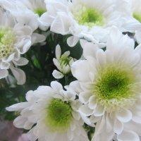 Нежность хризантем :: татьяна