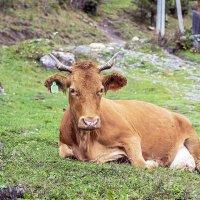 А это Няша - корова из Артыбаша :: Аркадий Пазовский