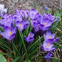 """""""...Весна торжественна, похожая на рай, И все в ней первозданно, первородно ..."""" :: Galina Dzubina"""