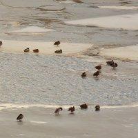 прилетели утки, а лёд ещё не сошел :: Александр Прокудин