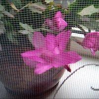 Мой декабрист цвёл в ноябре, январе, а теперь и в марте цветёт :: Нина Корешкова