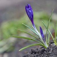 Крокус начинает цветение. :: Анатолий. Chesnavik.