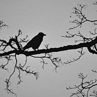 черная ворона :: Сергей Розанов