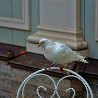 Белая голубка... :: Sergey Gordoff