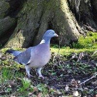 Лесной голубь - вяхирь - витютень :: Маргарита Батырева
