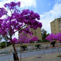деревья в цвету. :: Пётр Беркун