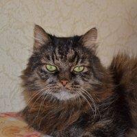 Умный старый добрый Кот :: Agnivarshi Малтыз