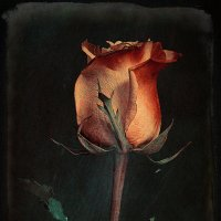 Роза 1 :: Цветков Виктор Васильевич