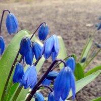 Самые первые цветы весны. :: Чария Зоя