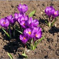 Весенние цветы :: Роланд Дубровский