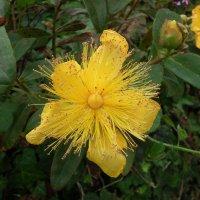 Цветок зверобоя :: Natalia Harries
