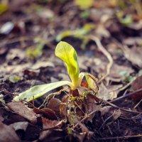 Первые цветы :: Алёнка Шапран
