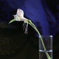 Последний фонарик альстромерии (вариант №3) :: veilins veilins