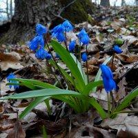 Первые цветы весны. :: Роман В.