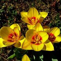 Первые тюльпаны ... :: Владимир Икомацких