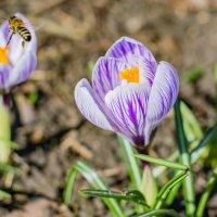 Первые радости весны :: Olga Schejko