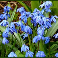 Цветы весны.. :: Светлана