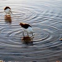 Птички соляных озер Атакамы :: Tatiana Belyatskaya