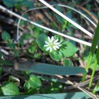 Первый лесной цветок :: Галина