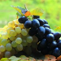 виноград :: Горкун Ольга Николаевна