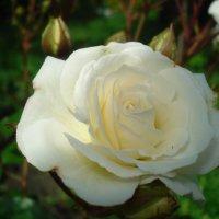 Белая роза :: Дарья
