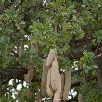 Сосисочное дерево :: Irina Shtukmaster