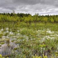 На болотах Карелии :: Константин