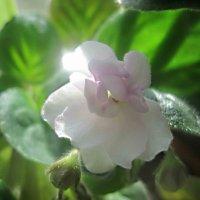 Белая красавица  радуется солнцу :: Елена Семигина