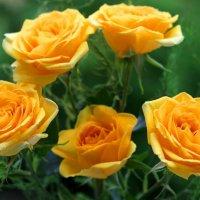 розы :: Горкун Ольга Николаевна