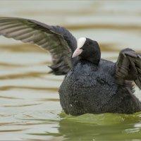Крылышками бяк-бяк-бяк :: Анна Солисия Голубева
