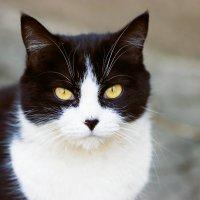 Кошачий портрет :: Елена Зудова