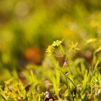Весенние цветы :: Иван Лазаренко