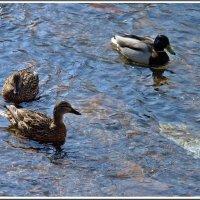 Плыли утки по реке... :: muh5257