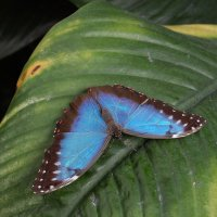 Blue Morpho butterfly :: Natalia Harries