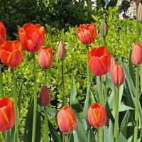Тюльпаны подходят :: Валерий Дворников