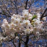 Бушующее, кипящее белоцветье!!!... :: Galina Dzubina