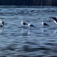 Чайки на тающем льду :: Александр Прокудин