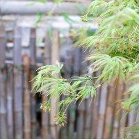 Японский клён :: Ольга Васильева