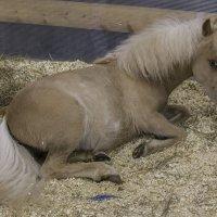 А пони - тоже кони :: Людмила Волдыкова