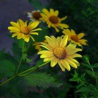 Дворовый цветок :: Дубовцев Евгений