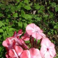 Розовый с белым :: Дмитрий Никитин