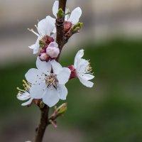 Цветок абрикоса :: Анатолий Мигов