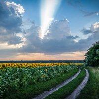 Летний вечер в подсолнухах...................... :: Александр Селезнев