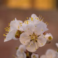 Цветок Абрикоса :: Arshak Badalyan