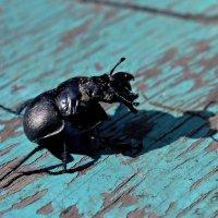 Коррида....(майский жук испугался своей тени) :: владимир