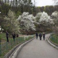 Магнолии в полном цвету! :: Svetlana